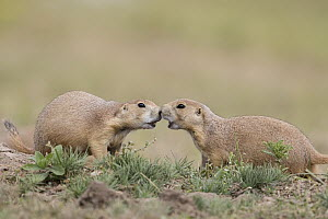 Black-tailed Prairie Dog (Cynomys ludovicianus) pair greeting, South Dakota - Donald M. Jones