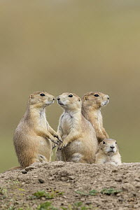 Black-tailed Prairie Dog (Cynomys ludovicianus) group, South Dakota - Donald M. Jones