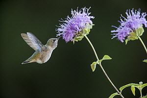 Calliope Hummingbird (Stellula calliope) feeding on flower nectar, Troy, Montana  -  Donald M. Jones