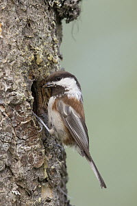 Chestnut-backed Chickadee (Poecile rufescens) at nest cavity, Troy, Montana  -  Donald M. Jones