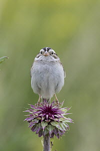 Clay-colored Sparrow (Spizella pallida), Montana - Donald M. Jones