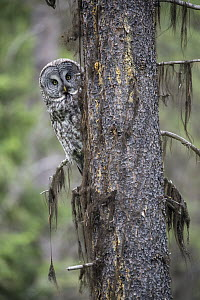 Great Gray Owl (Strix nebulosa), Yaak, Montana - Donald M. Jones