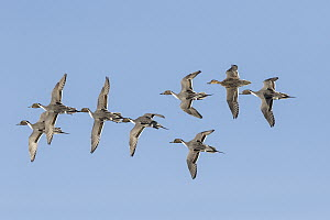 Northern Pintail (Anas acuta) males flying with female in spring courtship display, Montana - Donald M. Jones