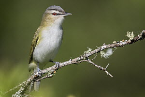 Red-eyed Vireo (Vireo olivaceus) male in spring, Montana  -  Donald M. Jones