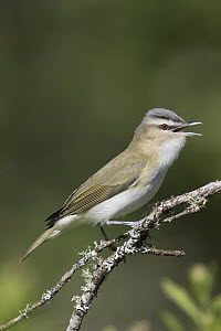 Red-eyed Vireo (Vireo olivaceus) male calling in spring, Montana  -  Donald M. Jones