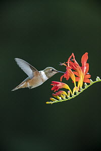 Rufous Hummingbird (Selasphorus rufus) female feeding on flower nectar, Montana - Donald M. Jones
