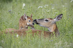 White-tailed Deer (Odocoileus virginianus) doe smelling newborn fawn, Montana - Donald M. Jones