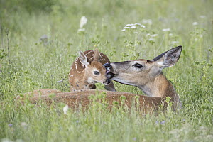 White-tailed Deer (Odocoileus virginianus) doe cleaning newborn fawn, Montana - Donald M. Jones