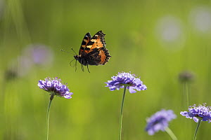 Small Tortoiseshell (Aglais urticae) butterfly flying, Bavaria, Germany  -  Konrad Wothe