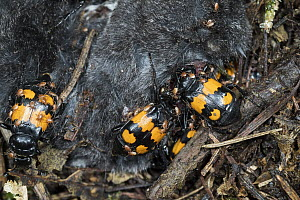Sexton Beetle (Nicrophorus vespillo) group burying shrew to serve as food for larvae, Germany  -  Konrad Wothe