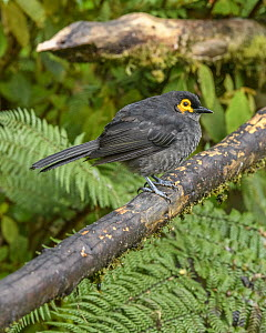 Smoky Honeyeater (Melipotes fumigatus), Kumul Lodge, Papua New Guinea  -  Shane P. White