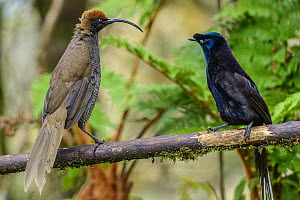 Brown Sicklebill (Epimachus meyeri) and Ribbon-tailed Astrapia (Astrapia mayeri), Kumul Lodge, Papua New Guinea - Shane P. White