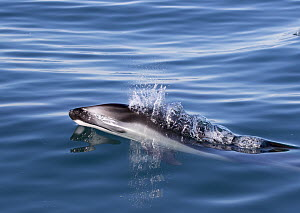 Pacific White-sided Dolphin (Lagenorhynchus obliquidens) surfacing, Mission Beach, San Diego, California - Richard Herrmann