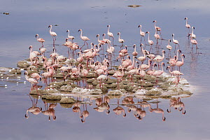 Lesser Flamingo (Phoenicopterus minor) flock nesting on island, Lake Natron, Tanzania - Paul Souders/ Worldfoto