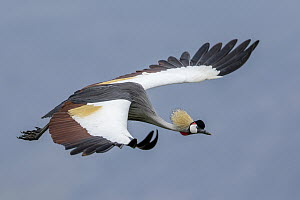 Grey Crowned Crane (Balearica regulorum) flying, Ngorongoro Conservation Area, Tanzania - Paul Souders/ Worldfoto