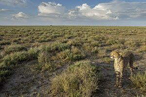 Cheetah (Acinonyx jubatus) in savanna, Ngorongoro Conservation Area, Tanzania - Paul Souders/ Worldfoto