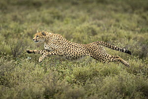 Cheetah (Acinonyx jubatus) running, Ngorongoro Conservation Area, Tanzania - Paul Souders/ Worldfoto