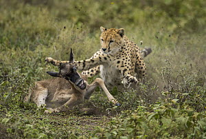 Cheetah (Acinonyx jubatus) predating Blue Wildebeest (Connochaetes taurinus) calf, Masai Mara, Kenya - Paul Souders/ Worldfoto