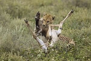 Cheetah (Acinonyx jubatus) predating Blue Wildebeest (Connochaetes taurinus) calf, Ngorongoro Conservation Area, Tanzania - Paul Souders/ Worldfoto