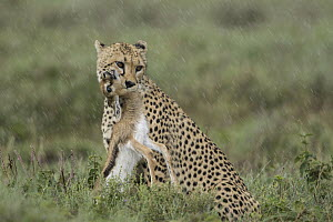 Cheetah (Acinonyx jubatus) with Thomson's Gazelle (Eudorcas thomsoniI) young prey during rainfall, Ngorongoro Conservation Area, Tanzania - Paul Souders/ Worldfoto