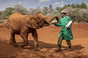 African Elephant (Loxodonta africana) orphaned calf bottle feeding, David Sheldrick Wildlife Trust, Nairobi, Kenya - Paul Souders/ Worldfoto