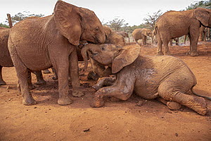 African Elephant (Loxodonta africana) orphaned calves, David Sheldrick Wildlife Trust, Nairobi, Kenya - Paul Souders/ Worldfoto