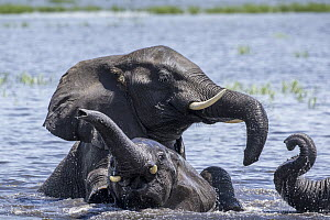 African Elephant (Loxodonta africana) group playing in water, Chobe River, Chobe National Park, Botswana - Paul Souders/ Worldfoto