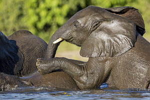 African Elephant (Loxodonta africana) calves playing in water, Chobe River, Chobe National Park, Botswana - Paul Souders/ Worldfoto