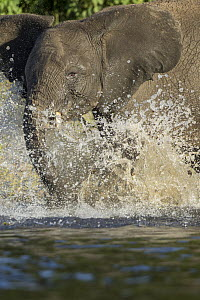 African Elephant (Loxodonta africana) calf playing in water, Chobe River, Chobe National Park, Botswana - Paul Souders/ Worldfoto
