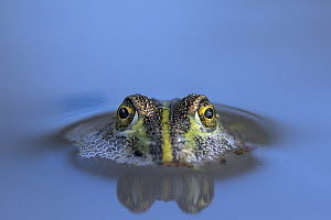 African Bullfrog (Pyxicephalus adspersus) sub-adult in waterhole, Nxai Pan National Park, Botswana - Paul Souders/ Worldfoto
