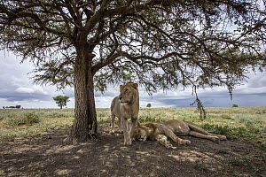African Lion (Panthera leo) males in savanna, Ngorongoro Conservation Area, Tanzania - Paul Souders/ Worldfoto