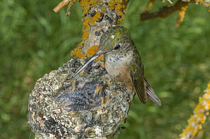 Broad-tailed Hummingbird (Selasphorus platycercus) mother at nest with chicks, Grand Teton National Park, Wyoming  -  Jeff Foott