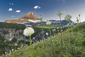 Bear Grass (Xerophyllum tenax) flowering, Mount Reynolds, Glacier National Park, Montana  -  Jeff Foott