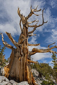 Great Basin Bristlecone Pine (Pinus longaeva) tree, Great Basin National Park, Nevada - Jeff Foott