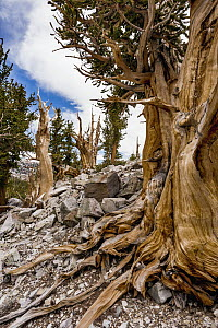Great Basin Bristlecone Pine (Pinus longaeva) trees, Great Basin National Park, Nevada  -  Jeff Foott