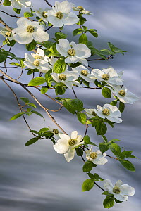 Mountain Dogwood (Cornus nuttallii) flowering, Merced River, Yosemite National Park, California  -  Jeff Foott
