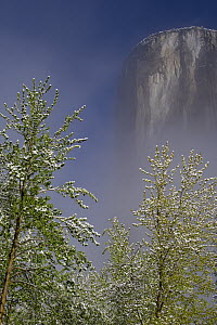 Mountain Dogwood (Cornus nuttallii) flowering, El Capitan, Yosemite National Park, California  -  Jeff Foott