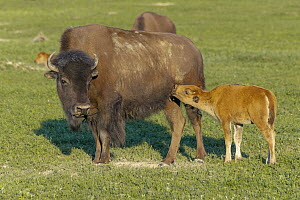 American Bison (Bison bison) mother nursing calf, Theodore Roosevelt National Park, North Dakota  -  Jeff Foott