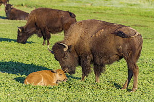 American Bison (Bison bison) mother nuzzling calf, Theodore Roosevelt National Park, North Dakota  -  Jeff Foott