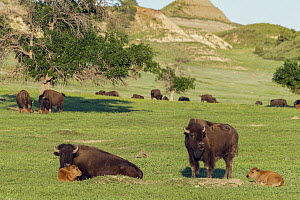 American Bison (Bison bison) mothers and calves, Theodore Roosevelt National Park, North Dakota  -  Jeff Foott