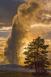 Geyser spouting, Old Faithful, Yellowstone National Park, Wyoming  -  Jeff Foott