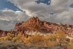 Fremont Cottonwood (Populus fremontii) trees in autumn, Bentonite Hills, Capitol Reef National Park, Utah  -  Jeff Foott