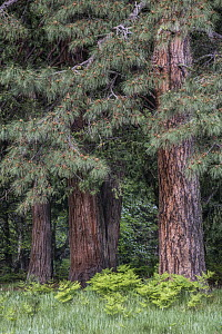 Jeffrey Pine (Pinus jeffreyi) and Incense Cedar (Calocedrus decurrens) trees, Yosemite National Park, California - Jeff Foott