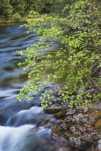 Mountain Dogwood (Cornus nuttallii), Merced River, Yosemite National Park, California  -  Jeff Foott