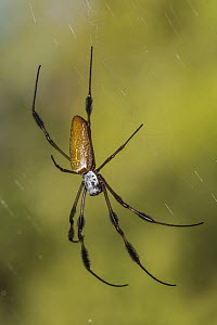 Banana Spider (Nephila clavipes), Alexander Springs Recreation Area, Florida - Jeff Foott
