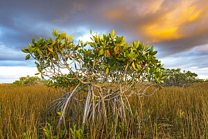 Red Mangrove (Rhizophora mangle) and Sawgrass (Cladium sp), Everglades National Park, Florida - Jeff Foott
