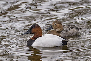 Canvasback (Aythya valisineria) male and female, Utah  -  Jeff Foott