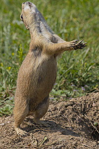 Black-tailed Prairie Dog (Cynomys ludovicianus) in territorial display, Wind Cave National Park, South Dakota - Jeff Foott