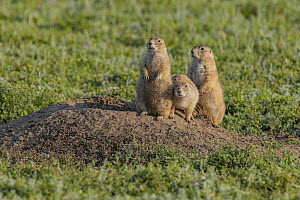 Black-tailed Prairie Dog (Cynomys ludovicianus) mother and young, Wind Cave National Park, South Dakota - Jeff Foott
