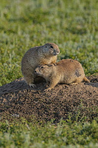 Black-tailed Prairie Dog (Cynomys ludovicianus) mother grooming young, Wind Cave National Park, South Dakota - Jeff Foott